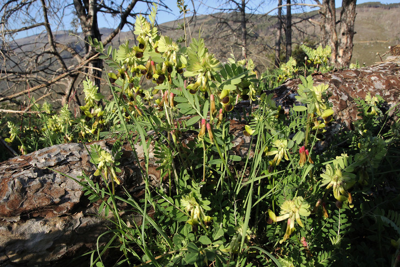 Vicia melanops, Lagada pass, beyond Artemisia, Kalamatra-Sparti