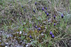 Muscari commutatum?, 100m above trailhead near M.Panagias-Profitis Ilias 2407m highest summit, Taigetos mountains (SW of Sparti)