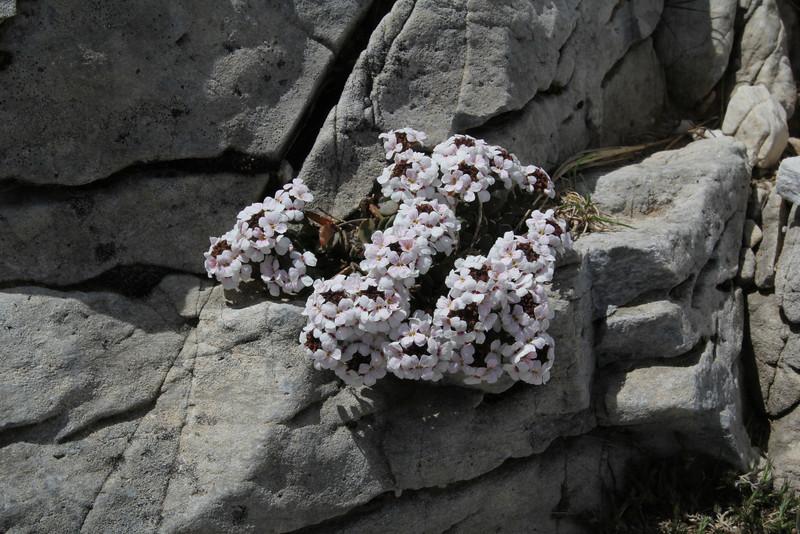 Aethionema carlsbergii, Ascending-Profitis Ilias 2407m, highest summit, Taigetos mountains v.v. (SW of Sparti)