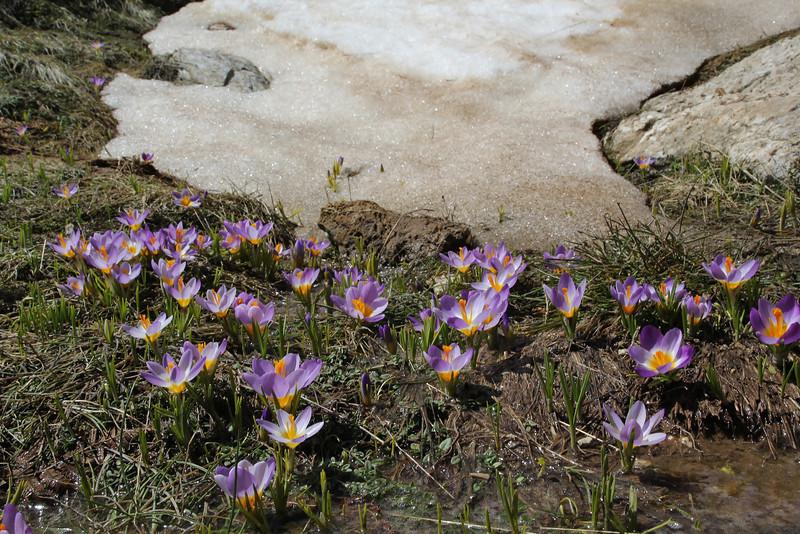 Crocus sieberi  ssp. nivalis, Ascending-Profitis Ilias 2407m, highest summit, Taigetos mountains v.v. (SW of Sparti)