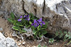 Viola chelmea, Ascending-Profitis Ilias 2407m, highest summit, Taigetos mountains v.v. (SW of Sparti)