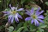 Anemone blanda, Pass, Mistra-Artemisia, W of Sparti