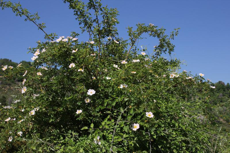 Rosa spec., 5km S of Diakofto