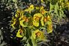 Euphorbia rigida, Lagada pass, beyond Artemisia, Kalamatra-Sparti
