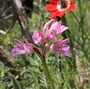 Orchis papilonaceae, Pass, Mistra-Artemisia, W of Sparti