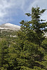 Abies cephalonica, Trailhead near M.Panagias-Profitis Ilisa 2407m highest summit, Taigetos mountains v.v. (SW of Sparti)