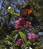 Lasiommata megera, (NL: Argusvlinder), Mili Gorge, N of Kambos,  Kalathio mountains, Mani,