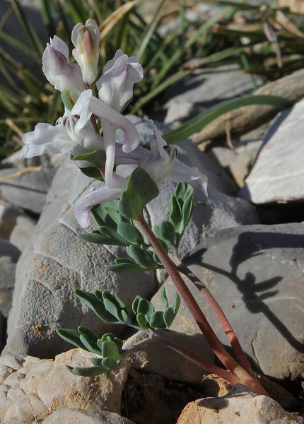 Corydalis blanda (syn. Corydalis parnassica, note the entire bracts)near the summit of Mount Helmos (Chelmos) 2341m
