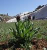 Solenanthus stramineus, Mount Helmos (Chelmos) 2341m
