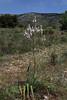 Asphodelus ramosus, Geraki-Lambokambos, foothills Parnon mountains