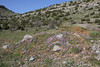 Malcolmia flexuosa, Mount Menalo 1980m, N of Tripoli
