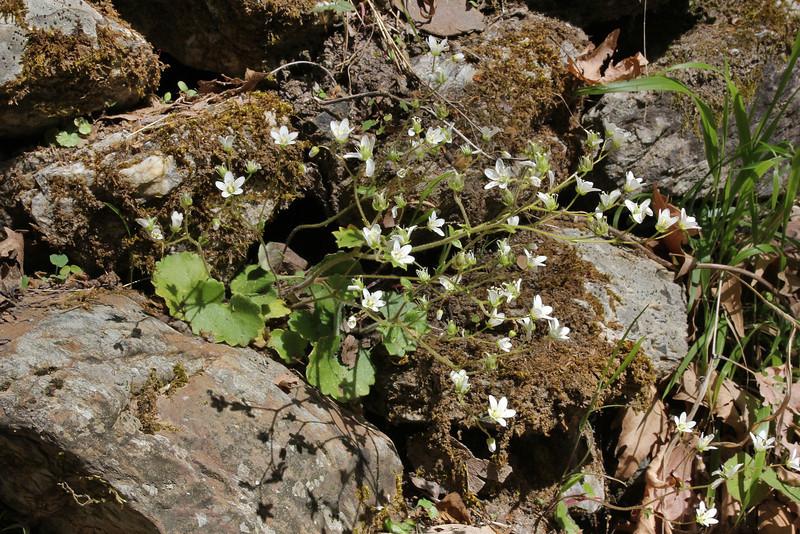 Saxifraga chrysosplenifolia, Pass, Mistra-Artemisia, W of Sparti