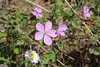 Geranium spec., Pass, Mistra-Artemisia, W of Sparti