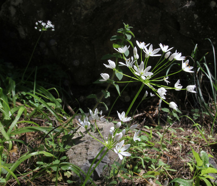 Allium subhirsutum, Mili Gorge, N of Kambos,  Kalathio mountains, Mani,