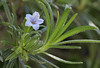 Lithodora zahnii, S of Mili Gorge, N of Kambos,  Kalathio mountains, Mani,