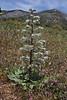 Echium italicum, Geraki-Lambokambos, foothills Parnon mountains