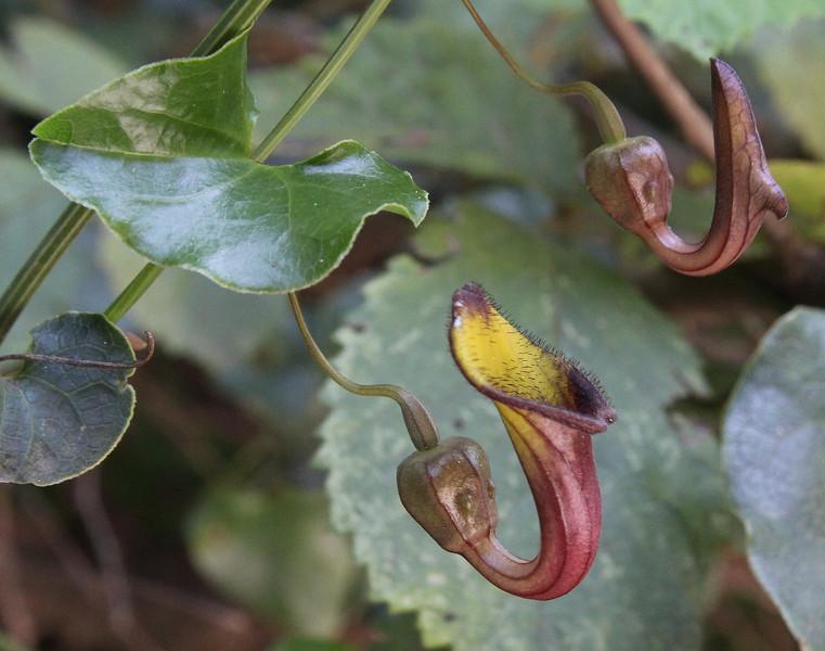 Aristolochia sempervirens, Mili Gorge, N of Kambos,  Kalathio mountains, Mani,