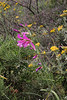 Gladiolus italicus, Lambokambos, foothills of Madara mountains