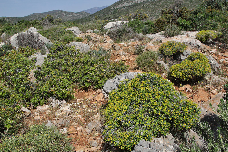 Euphorbia acanthothamnos, Sparti-Geraki