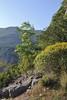 Euphorbia dendroides and Fraxinus ornus,(NL: pluim-es) before Lagada Pass, Kalamata-Sparti