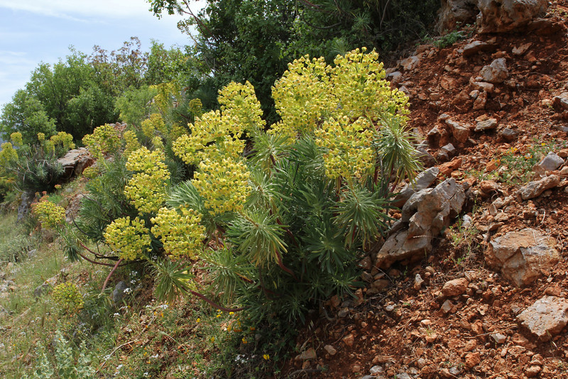 Euphorbia characias, Lambokambos, foothills of Madara mountains