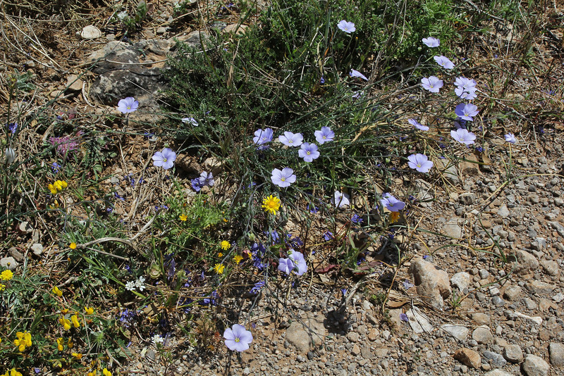 Linum cf. bienne, deficient in lime, Sparti-Geraki