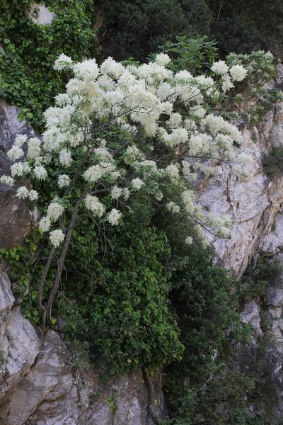 Fraxinus ornus, Mistras-Lagada Gorge, E of Sparti