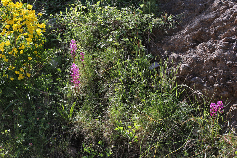Orchis quadripuncta, Kalavrita-Diakofto (Gulf of Corinth)