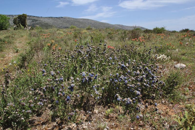 Globularia alypum, Geraki-Lambokambos, foothills Parnon mountains