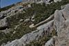 Saxifraga scardica, Mount Helmos (Chelmos) 2341m