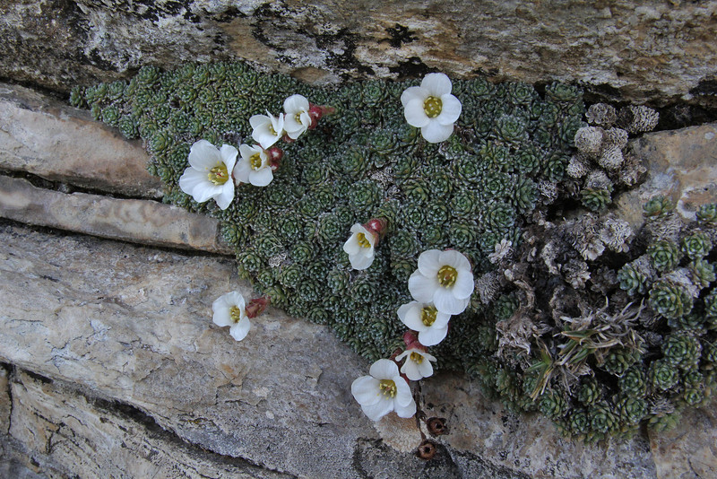 Saxifraga marginata var. boryi, Ascending-Profitis Ilias 2407m, highest summit, Taigetos mountains (SW of Sparti)