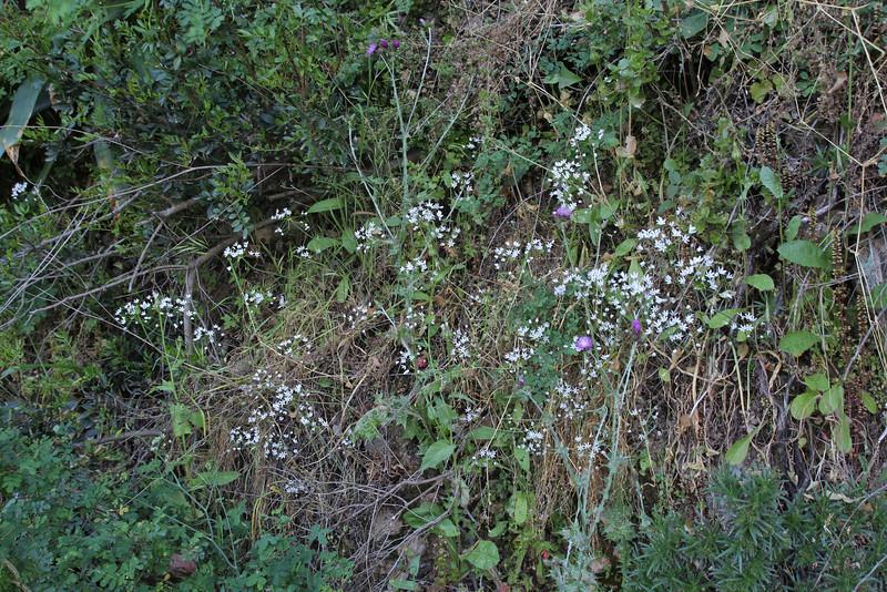 Allium subhirsutum, S of Mili Gorge, N of Kambos,  Kalathio mountains, Mani,