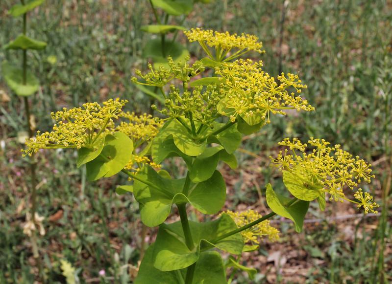 Smyrnium perfoliatum ssp. rotundifolium, Lambokambos, foothills of Madara mountains