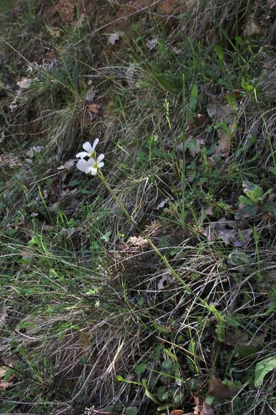 Saxifraga carpetana ssp. graeca, 990m, forest near Styx river, Mount Helmos 2341m, SE of Kalavrita