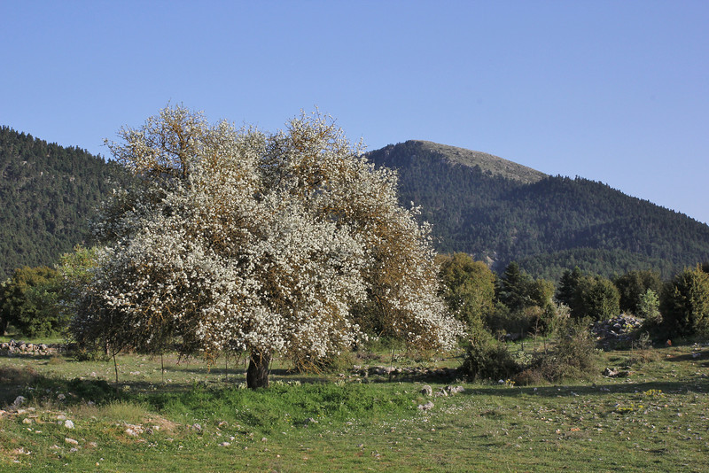 Pyrus spec. be in blossom, near Vitina, 40km NW of Tripoli