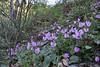 Cyclamen peloponnesiacum ssp. peloponnesiacum, Lagada pass, beyond Artemisia, Kalamatra-Sparti