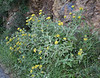 Phlomis fruticosa, S of Mili Gorge, N of Kambos,  Kalathio mountains, Mani,