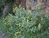 Phlomis fruticosa, S of Mili Gorge, N of Kambos,  Kalathio mountains, Mani,