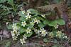 Primula vulgaris, Trailhead near M.Panagias-Profitis Ilisa 2407m highest summit, Taigetos mountains v.v. (SW of Sparti)