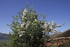 Pyrus spinosa, be in blossom, near Mount Helmos 2341m, SE of Kalavrita