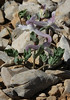 Corydalis blanda (syn. Corydalis parnassica, note the entire bracts)near the summit of Mount Helmos (Chelmos) 2341m