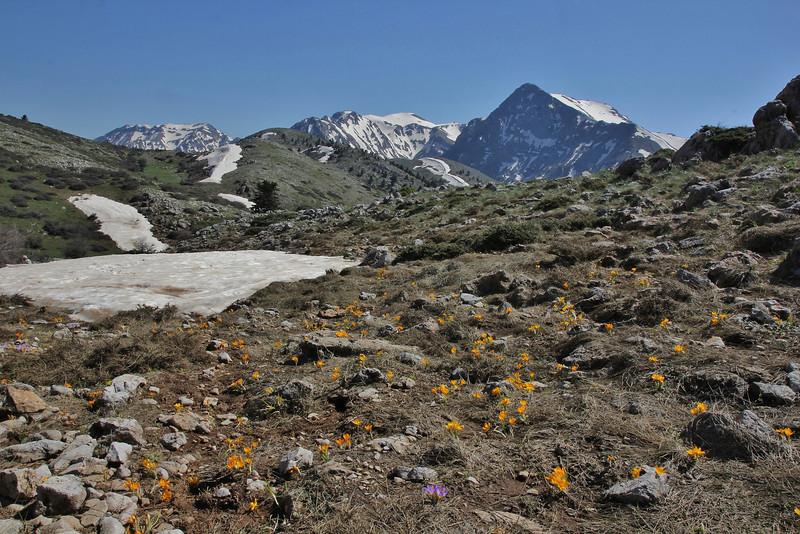 Crocus olivieri and some Crocus sieberi ssp. sublimus, Mount Helmos (Chelmos) 2341m