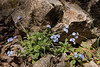 Myosotis, which species?, Trailhead near M.Panagias-Profitis Ilisa 2407m highest summit, Taigetos mountains v.v. (SW of Sparti)