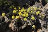 Alyssum spec., Mount Menalo 1980m, N of Tripoli