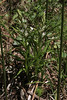 Cephalanthera longifolia in bud, 990m, forest along the Styx river, Mount Helmos 2341m, SE of Kalavrita