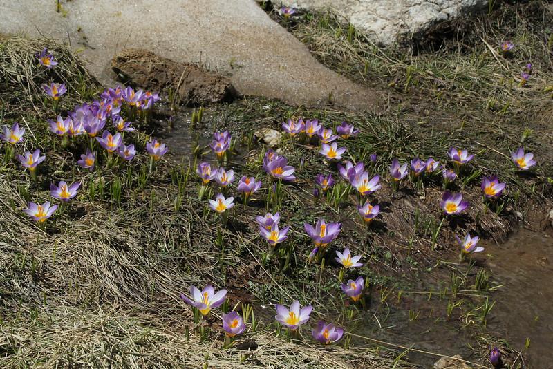 Crocus sieberi  ssp. nivalis, an endemic subspecies of the Taygetos Mountains, Ascending-Profitis Ilias 2407m, highest summit, Taigetos mountains v.v. (SW of Sparti)