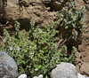Stachys spec., Mili Gorge, N of Kambos,  Kalathio mountains, Mani,