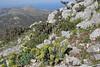 Euphorbia rigida and Cyclamen peloponnesiacum ssp. vividum, 1000m mountains SW of Lambokambos