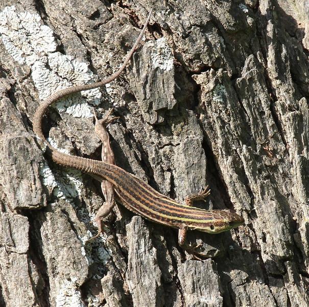 Podarcis peloponnesiacus, female Peloponnese Wall Lizard, campground, Mistras, W of Sparti