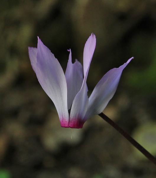 Cyclamen peloponnesiacum ssp. peloponnesiacum, Mili Gorge, N of Kambos,  Kalathio mountains, Mani,